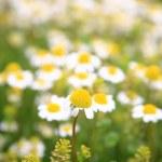 Daisy background — Stock Photo #3717498