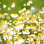 Daisy background — Stock Photo #3717657