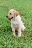 Yellow Labrador Puppy — Stock Photo
