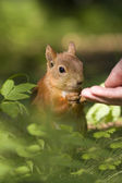 Person feed squirrel — Stock Photo