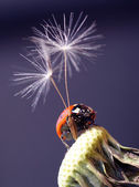 Ladybird with a parachute — Stock Photo
