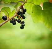 Bunch of currants with a little garden bugs in Focus. Shallow DO — Stock Photo