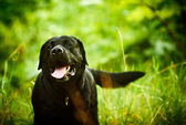 Black Labrador is moving in the natural environment. Evening, na — Stock Photo