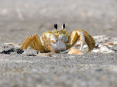 Crab with telescoping eyes — Stock Photo