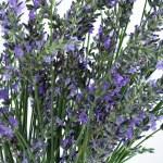 Shot of fresh lavender close up — Stock Photo #3459917