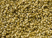 Malted Barley grains — Stock Photo