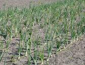 Onion Field — Stock Photo