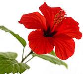 Hibiscus rosa-sinensis L. — Stock Photo