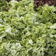 Green leaf lettuce display — Stock Photo