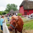 Cow in the funen village - Stock Photo
