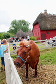 Cow in the funen village — Stok fotoğraf