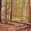 Path into dense fir tree forest with fallen trees - Stock Photo