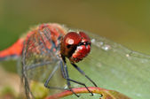 Big red face of red dragon fly — Stock Photo