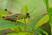 Green grasshopper closeup on mild green background — Stock Photo