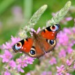 European Peacock (Inachis io) butterfly on pink flowers — Stock Photo