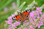 European Peacock (Inachis io) butterfly on pink flowers — Stock fotografie