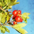 Grunge hawthorn berries photo - Stock Photo