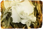 Grunge white flower old retro photo or card — Stock Photo
