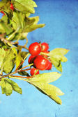 Grunge hawthorn berries photo — Stock Photo