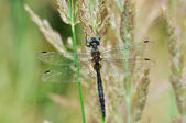 Cordulia aenea dragonfly with green eyes — Stock Photo