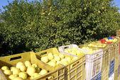 Harvest lemon — Stock Photo