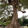 Stock Photo: Big tree with roots