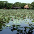 Stock Photo: Lotus pond in Ayuthaya