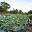 Stock Photo: Lotuses, trees and pond