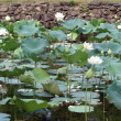 Stock Photo: White lotuses