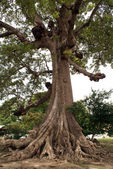 Big tree with roots — Photo