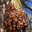 Dates on the tree — Stock Photo #3624881