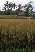 Brown rice field — Stockfoto
