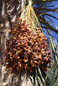 Dates on the tree — Stock Photo