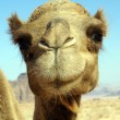 Face of camel — Stock Photo #3641200
