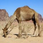 Постер, плакат: Big camel