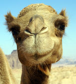 Face of camel — Stock Photo