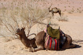 Bush and two camels — Stock Photo