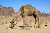 Big camel — Stock Photo
