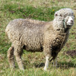 Merino sheep — Stock Photo #3716826