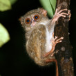 Tarsier — Stock Photo #3438449