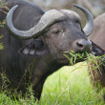 African Buffalo — Stock Photo