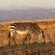 Royalty-Free Stock Photo: Mountain Zebra