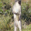 Stock Photo: Vervet Monkey