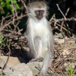Young Vervet Monkey - Stock Photo