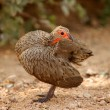 Swainson&#039;s Francolin - Stock Photo