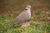 African Mourning Dove — Stock Photo