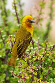 Cape Weaver — Stock Photo