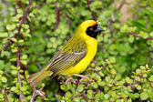 Southern Masked Weaver — Stock Photo