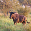 Blue Wildebeest - Stock Photo