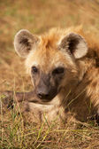 Hyaena Portrait — Stock Photo